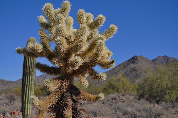 Cholla at McDowell Ranch